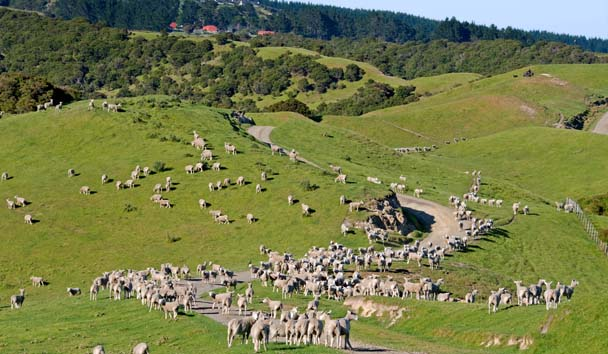 The Farm at Cape Kidnappers: Sheep on the Farm
