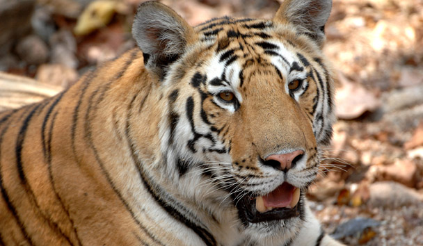 Pashan Garh: Tiger Sighting