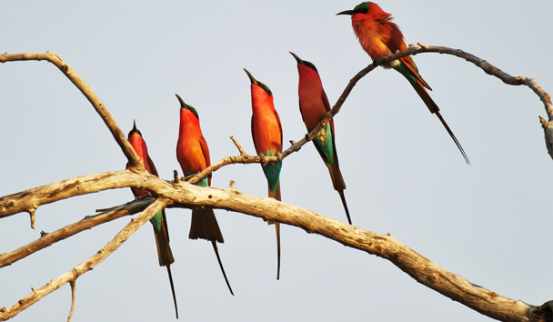 Kings Pool Camp: Southern Carmine Bee Eaters