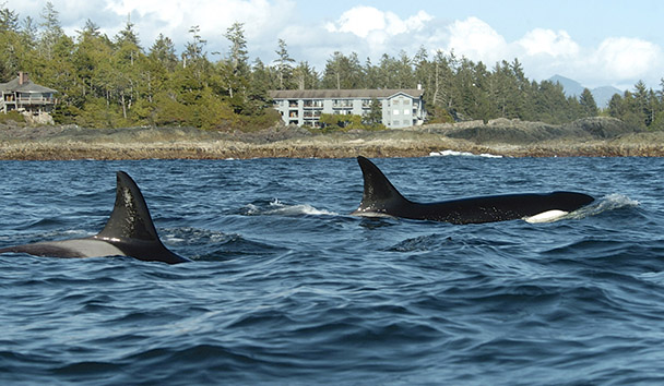 Wickaninnish Inn: Orcas in front of Wickaninnish Inn