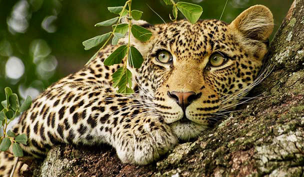 Londolozi Private Game Reserve: Leopard