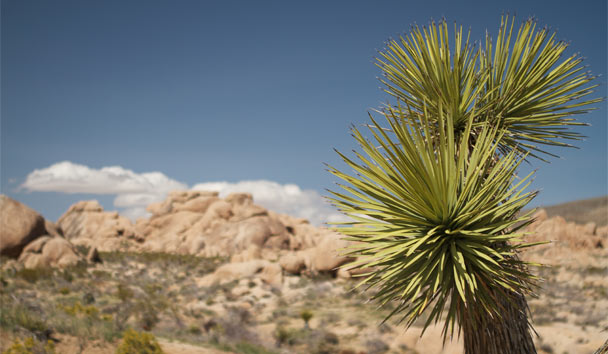 California's National Parks Celebrate 100 Years: Joshua Tree National Park