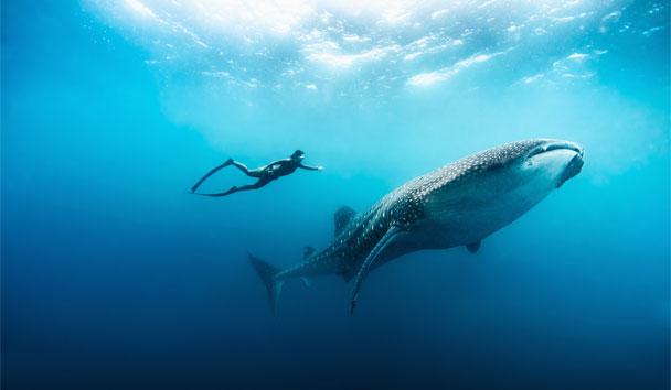 Soneva Fushi, Free-diving With A Whale Shark