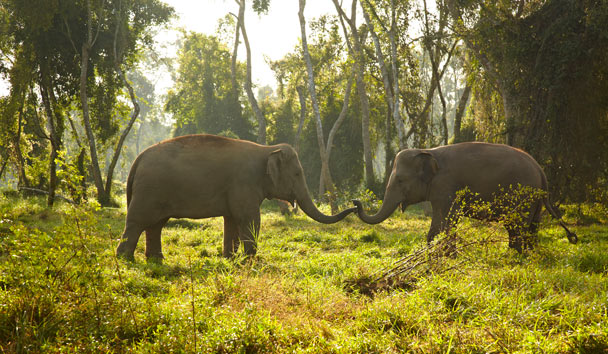 Anantara Golden Triangle, Elephants