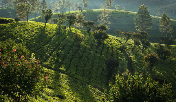 Ceylon Tea Trails: Tea Fields