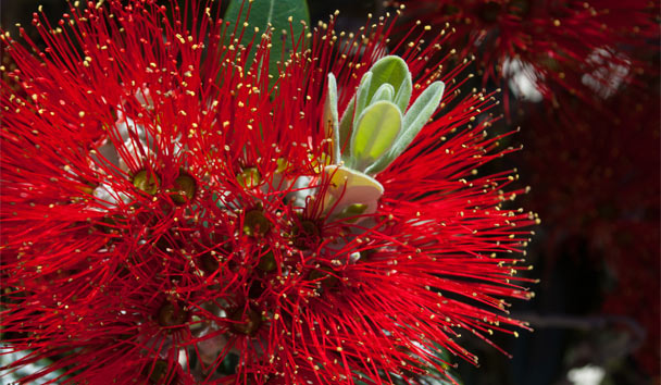 The Pōhutukawa tree is a Christmas symbol in New Zealand