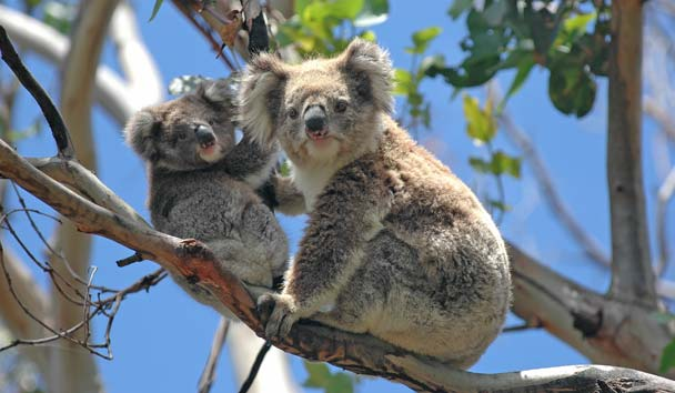 Wild Koalas, Great Ocean Road