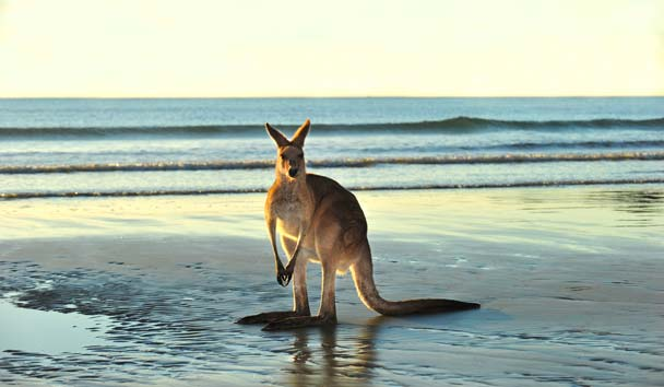 Australia, Eastern Grey Kangaroo, Queensland
