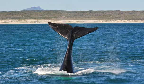 Southern Right Whale, Hermanus