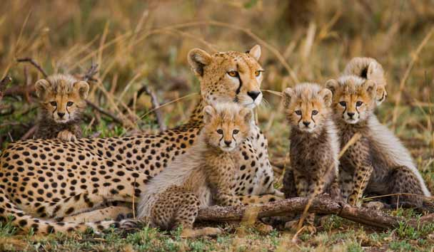 Cheetah with Cubs, Serengeti Savannah, Tanzania