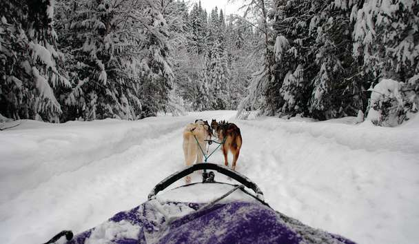 Fairmont Jasper Park Lodge, Dog Sleighing, Canada