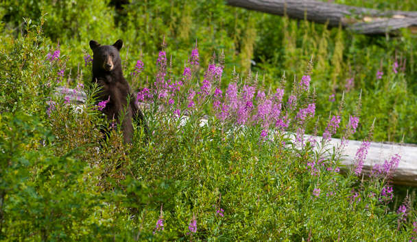 The Westin Resort And Spa, Bear on Whistler Mountain, Canada