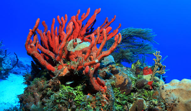 Coral in the Caribbean Sea