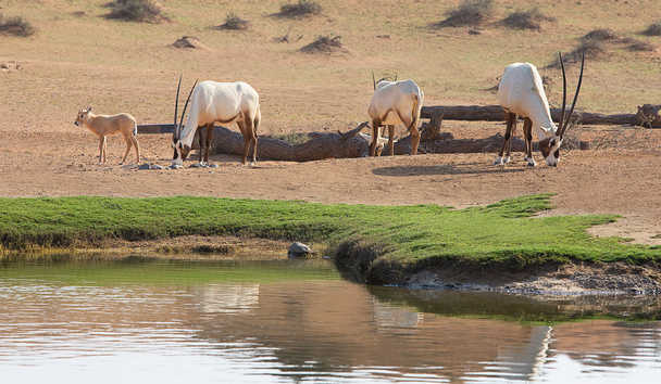 The Ritz-Carlton Ras Al Khaimah, Al Wadi Desert: Wildlife