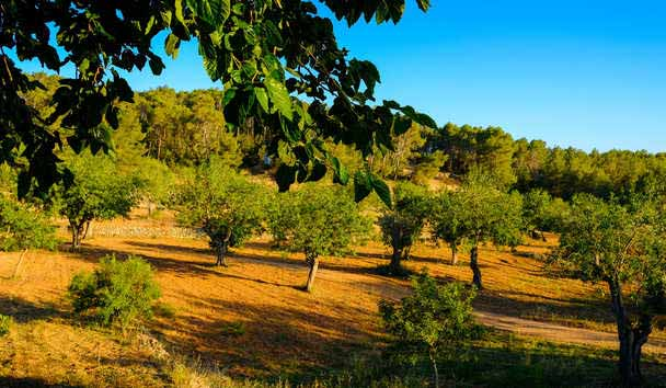 Can Lluc Boutique Country Hotel & Villa Ibiza: Olive Groves