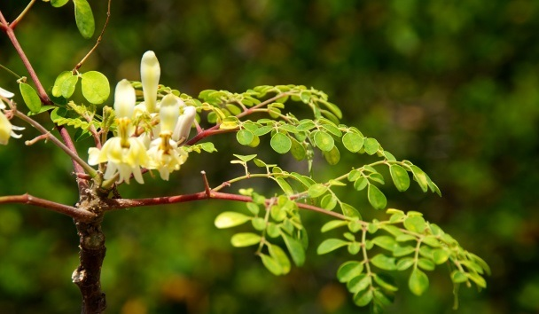 Discover the Health Benifits Of The Moringa Tree