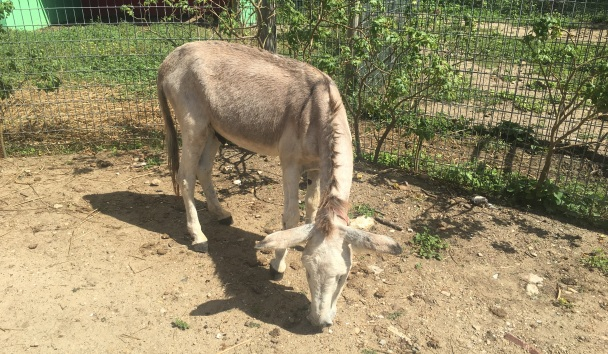 Stevie The Blind Donkey