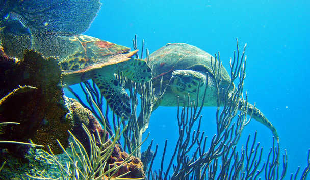 Meet the turtles of the Caribbean
