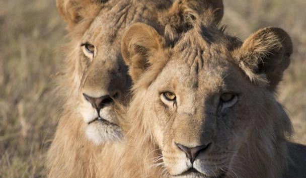 Duba Plains, Lion Sightings