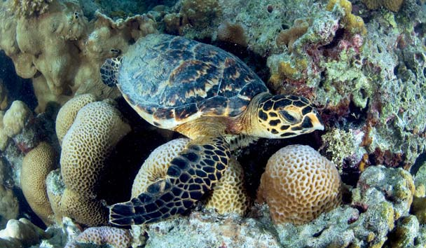 Four Seasons Resort Seychelles at Desroches Island: Turtle