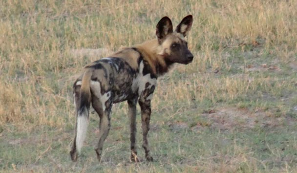Wild Dog Sightings