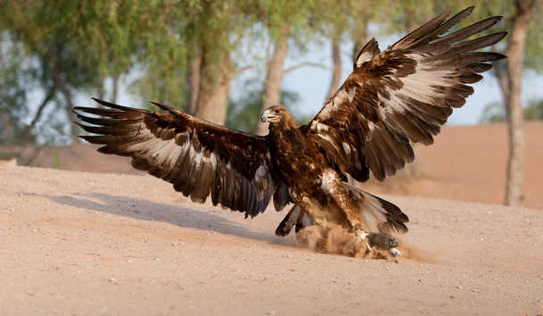 The Ritz-Carlton Ras Al Khaimah, Al Hamra Beach: Falconry