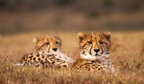 Shamwari Private Game Reserve, Cheetah
