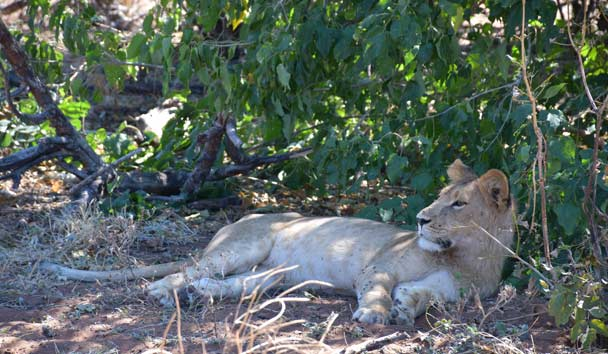 Lion At Rest, Zambia