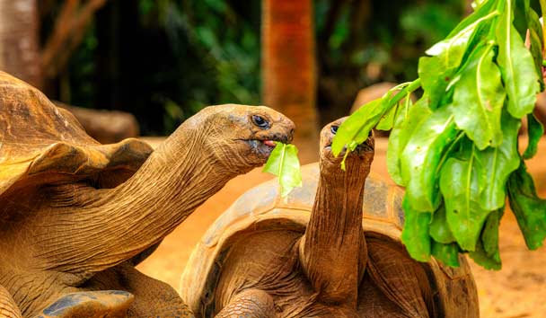 Giant Tortoise Eating Papaya, Seychelles