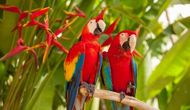 Scarlet Macaw Parrots, Costa Rica