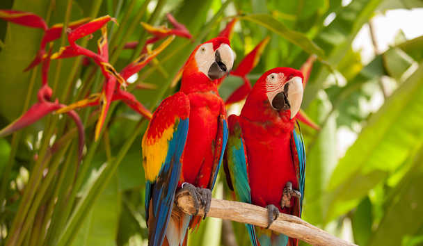Pair of Scarlet Macaw Parrots, Costa Rica
