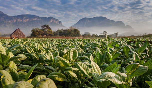 Vineales Tobacco Plantation, Cuba