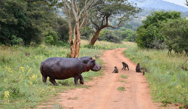 A hippo crossing our track in Akagera National Park