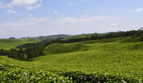 The gorgeous tea terraces of Nyungwe Forest National Park
